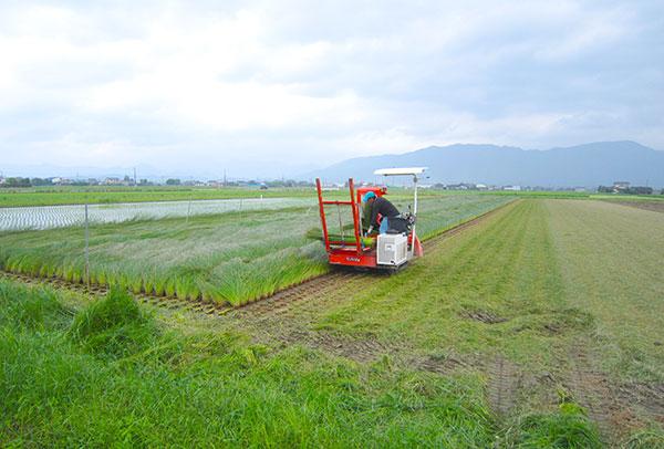 イグサ農家熊本オオタケ笑顔ブログ